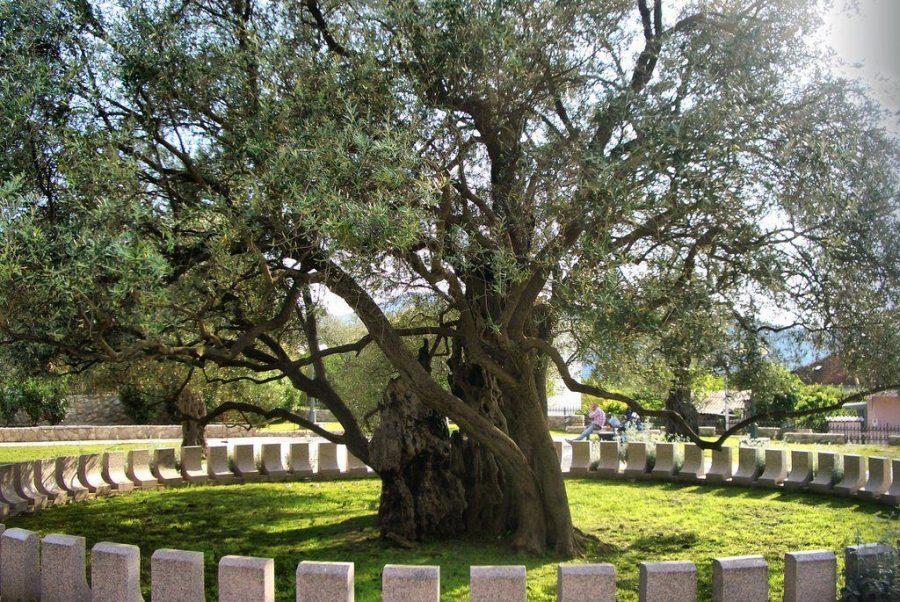 Древнее оливковое дерево