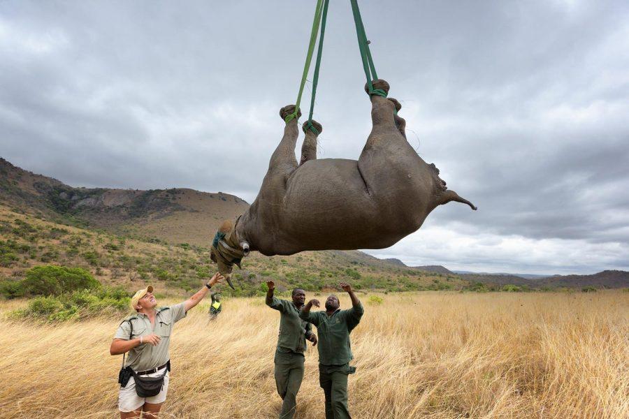 Перевозка носорога на вертолете